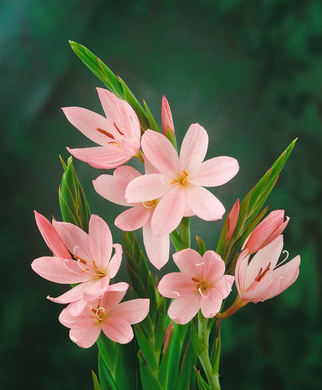 Garten-Spaltgriffel 'Mrs. Hegarty'